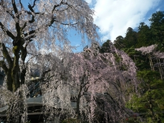 久遠寺の桜